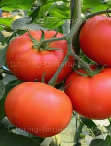 tutoring of tomatoes
