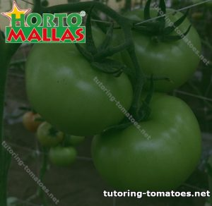 Tutoring Tomatoes
